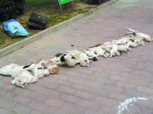 北京一小区13只流浪猫被虐杀 遭挖眼剖腹割喉