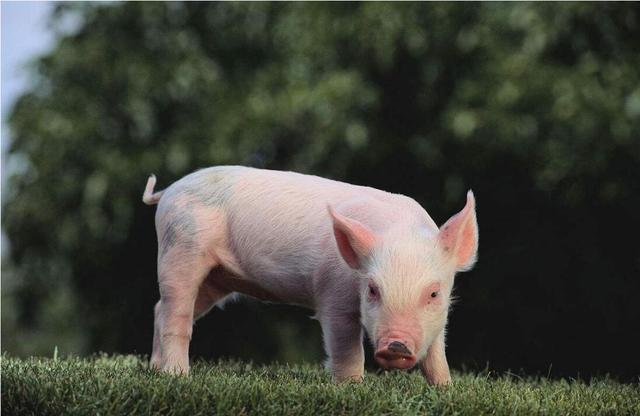 世卫组织呼吁停止对食用动物使用抗生素