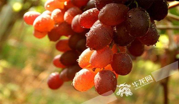 葡萄成熟季 重庆这些地方可采摘