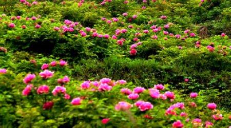 垫江牡丹节_春游赏花好去处 垫江牡丹文化节30日开幕