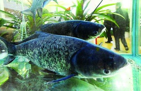 三峡鱼将大扩产 未来价格有望降下来