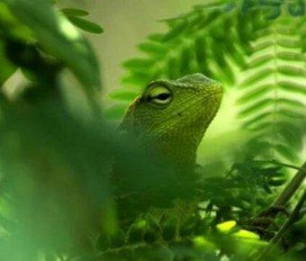 摄影师抓拍绿色变色龙 藏身树叶间分不出