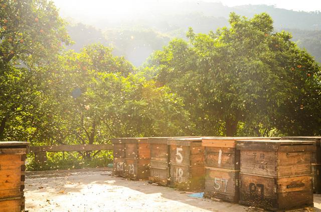 花海浪漫孑然一生 杵拐追大山的养蜂人