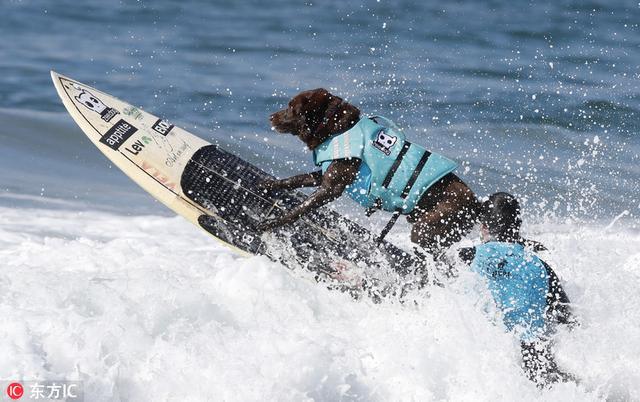 美国举办狗狗冲浪大赛 汪星人海中乘风破浪