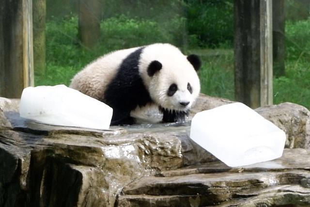 """企鹅如何度过炎夏?看重庆动物园为其""""花式解暑"""""""