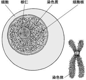特纳综合征又名先天性卵巢发育不全,它是一种性染色体全部或部分缺失