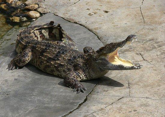 武汉ag游戏直营网 平台园8条鳄鱼有4条被游客砸死
