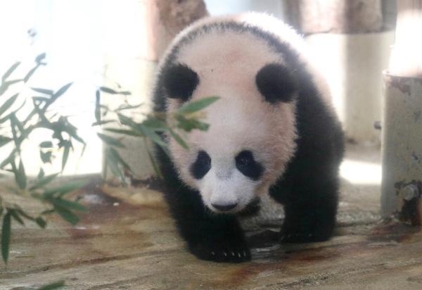 大熊猫香香成日本网红图片 28010 600x412
