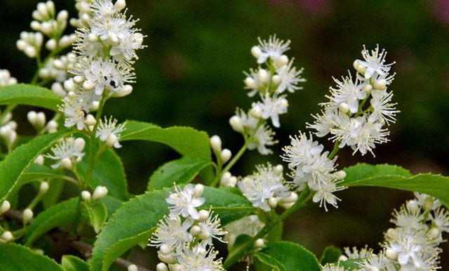 """进入诗词歌赋里的,比如黄庭坚提到的山矾:""""江湖南野中,有一小白花,木"""