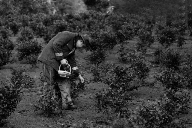 茶叶源自中国,但为何英国对茶有强烈的认同感呢?