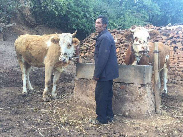 杨改兰家的牛