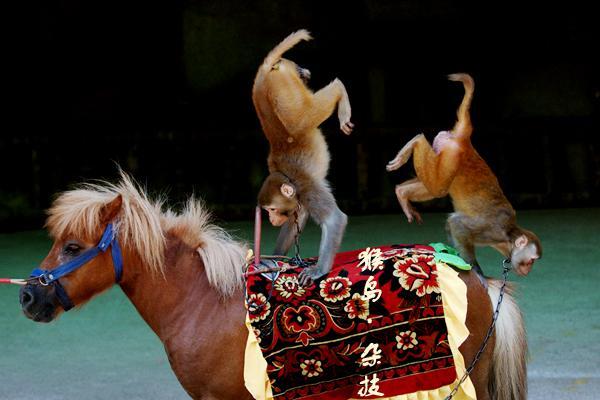 海南猴岛的猴子骑马杂技
