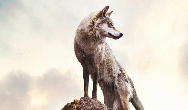 崇拜狼图腾是一种文明倒退