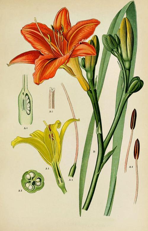 手绘植物科学画