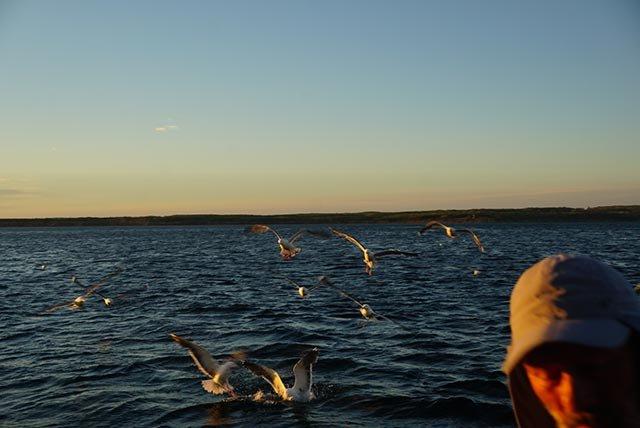 追随渔船的海鸥