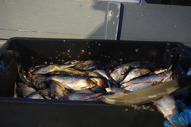 作为诱饵的鱼肉