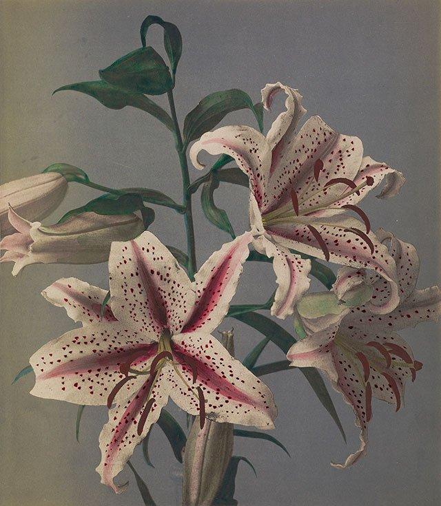 图8、小川一真上色的百合花照片。图片来自盖蒂博物馆