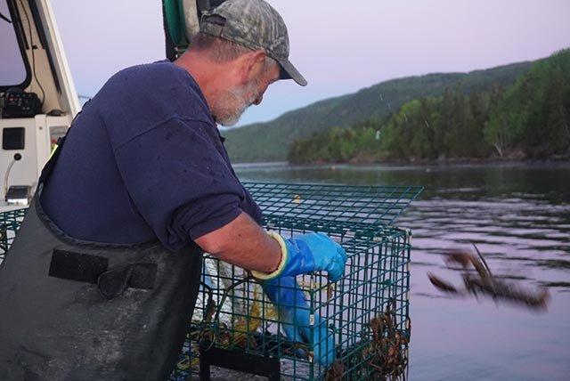 不足82.5毫米的龙虾被扔回大海
