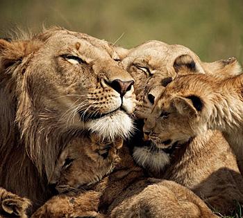 高清:国家地理每日一图 雄狮和母狮