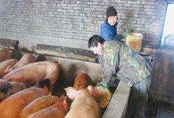 博文时代:及时查找关于猪的价格行情和疾病预防