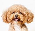高清:可爱狗狗证件照