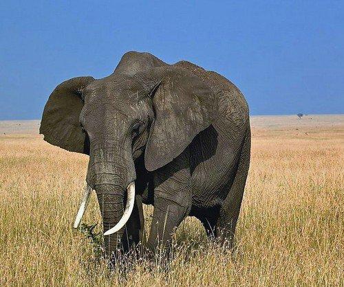 美动物园利用gps追踪非洲象以减少其患病
