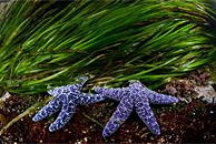 哥伦比亚海岸的紫海星