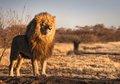 令人屏息的精彩狮子照片