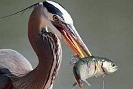 大蓝苍鹭捕鱼