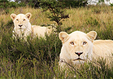 南非草原上的白狮