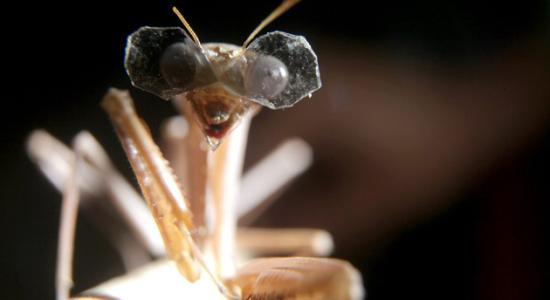 你没看错 螳螂也有专用3D眼镜
