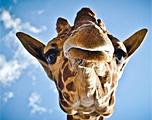 墨西哥漂亮的长颈鹿