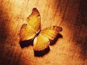 美文欣赏:Lappet Butterflies 枯叶蝴蝶