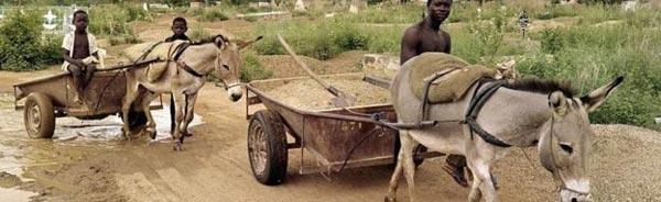 阿胶需求量太大 尼日尔的驴都不够用了