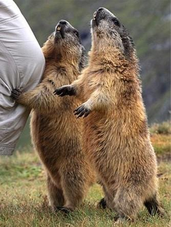 土拨鼠爱摄影 实拍阿尔卑斯山区调皮小精灵图片