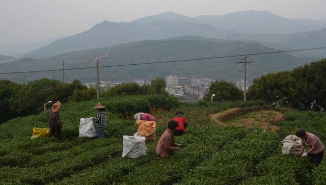 福州大学茶多芬项目