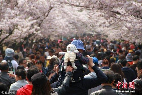 """青岛中山公园700米樱花大道迎10余万赏樱""""大军"""""""