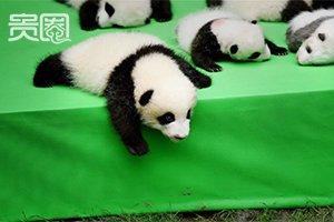 卖萌为主:熊猫开启走红新姿势