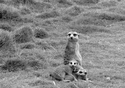 香市动物园细尾獴生下三胞胎