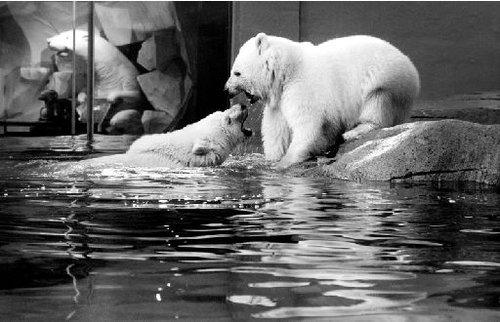 龙凤胎北极熊落户极地海洋世界