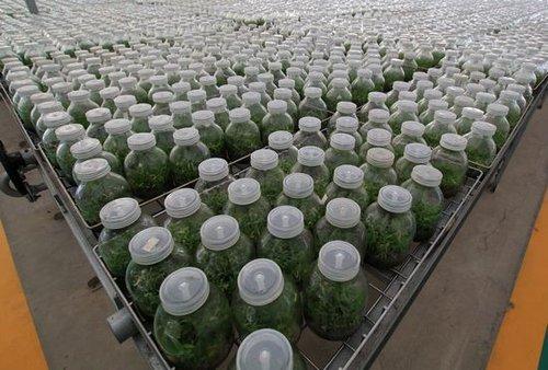 探访安徽省最大石斛基地 克隆出来的仙草