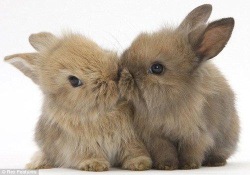 两只兔子甜蜜亲吻