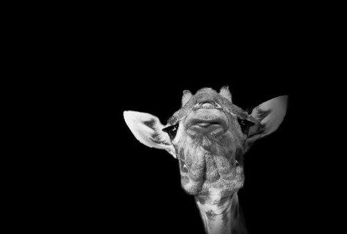 动物肖像摄影:黑白色的强大张力