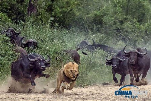 当时,那只狮子突然向水牛群发动攻击.图片