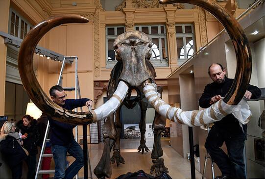 巨型珍贵猛犸象遗骸化石竞得近55万欧元