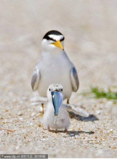 小燕鸥叼起一条鱼.