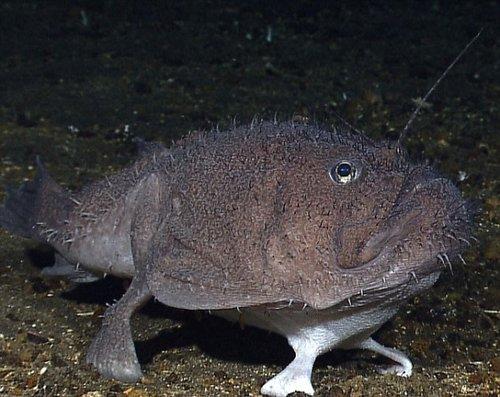 印尼奇异深海动物:四足琵琶鱼海底悠闲漫步