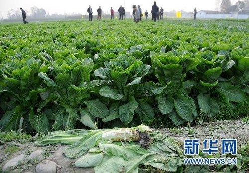 """莴笋1毛钱1斤仍没人买 卖菜难根子在""""柴油荒"""""""