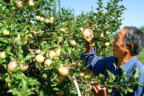 苹果大丰收