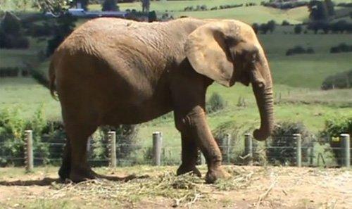 """富兰克林动物园公布的""""杀人大象""""米拉的照片"""
